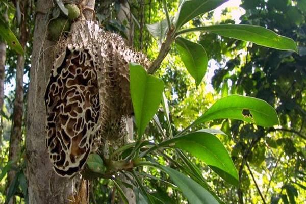 Khasiat Tanaman Sarang Semut berdasarkan Bukti Ilmiah